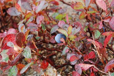 赤く紅葉した葉に青い実が