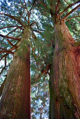 登山道脇の立派な夫婦杉