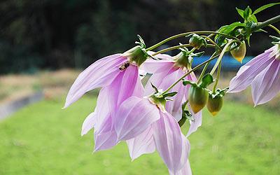 ピンク色の花にハチがきた