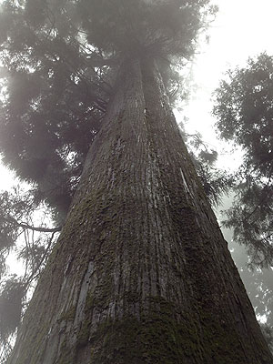 杉のスカイツリー